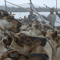 North of the Arctic Circle in Russia,  nomadic Komi reindeer herders hold up netting of a temporary pen against a crush of animals.