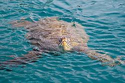 Green Sea Turtle breathing, Chelonia mydas, Honokohau Harbor, Kona, Big Island, Hawaii, Pacific Ocean