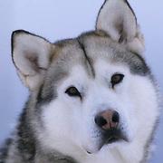 Dogs, Alaskan Husky.