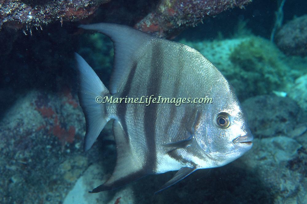 Atlantic Spadefish swim in open water, often in small to large schools, in Tropical West Atlantic; picture taken Key Largo, FL.
