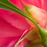 macro of stem backside of flower