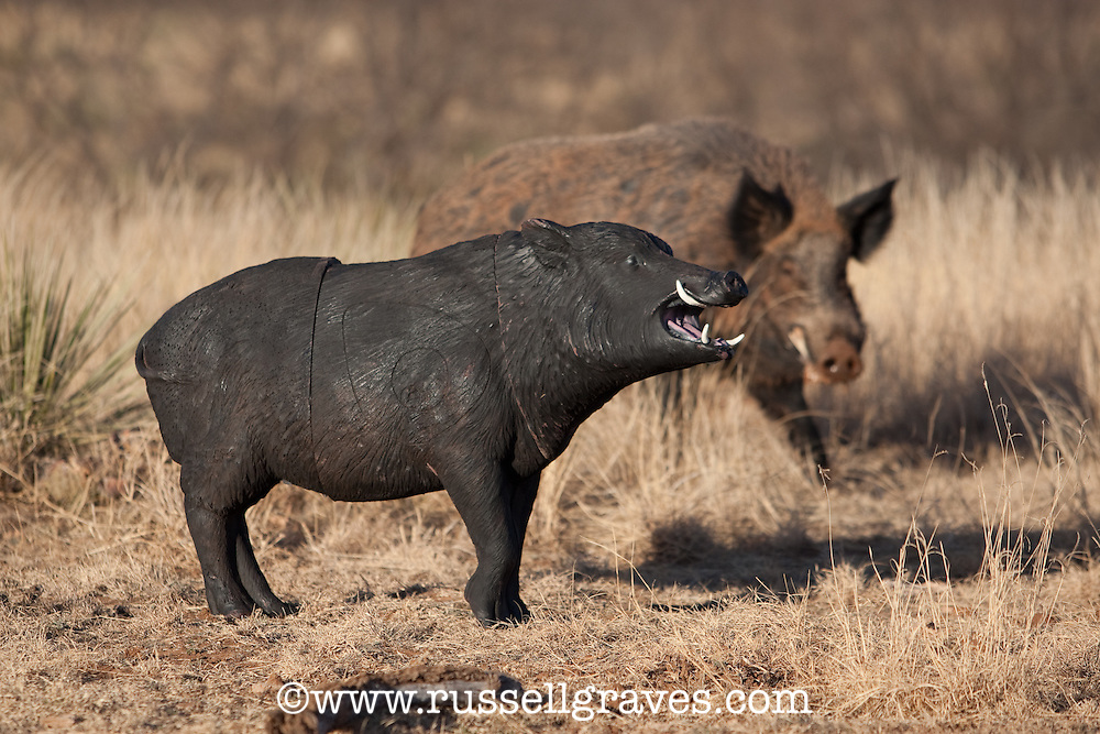 WILD PIG WITH PIG TARGET BEING USED AS A DECOY.