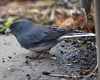 Dark-eyed Junco (Junco hyemalis). Image taken with a Nikon D5 camera and 600 mm f/4 VR telephoto lens.