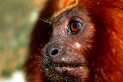 The eyes of a Golden Lion Tamarin (Leontopithecus rosalia) are directed forward to allow binocular vision and good depth perception. | Die Augen des Löwenäffchens (Leontopithecus rosalia) sind frontal angeordnet und erlauben so dreidimensionales Sehen und gute Abschätzung von Entfernungen.