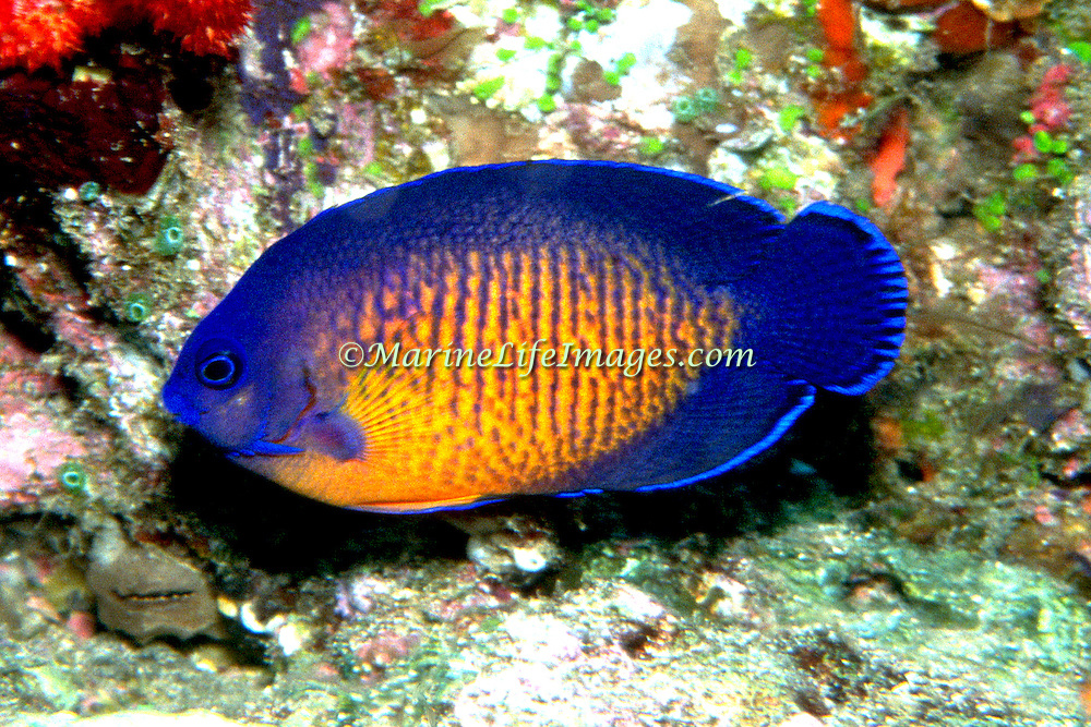Twospined Angelfish inhabit reefs. Picture taken Fiji.