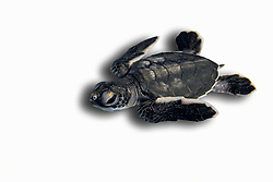 green sea turtle hatchling, Chelonia mydas, endangered species, Bahamas, Caribbean, Atlantic Ocean (c)