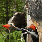 Pileated Woodpecker (Dryocopus pileatus) is the largest woodpecker commonly seen in North America. Summer in Montana