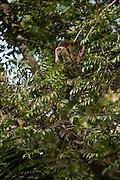 Wedge-capped or <br /> Weeping Capuchin (Cebus olivaceus)<br /> Rainforest<br /> Rewa River<br /> Iwokrama Reserve<br /> GUYANA. South America<br /> RANGE: Venezuela, Guianas, Brazil's NE