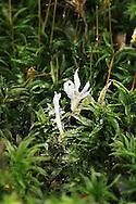 Paecilomyces farinosus