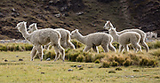 Alpacas at Huillca in the Cordillera Blanca, Andes Mountains, Peru, South America. The alpaca (Vicugna pacos) is a domesticated species of South American camelid. Day 5 of 10 days trekking around Alpamayo in Huascaran National Park.