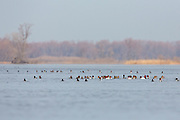 Canvasback and Ring-necked ducks resting on the water.