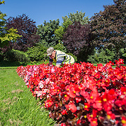 16.08.2016    <br /> Limerick City and County Council, Flowers, Limerick City. Patrick Lyons, LCCC tends to flower beds at Clare Street Park. Picture: Alan Place