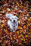 """English Setter  """"Rudy"""" am 10.11. 2018 im Herbstlaub im Garten in Lysa nad Labem, (Tschechische Republik).  Rudy wurde Anfang Januar 2017 geboren."""