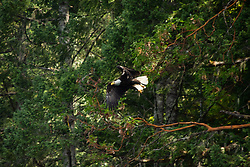Bald Eagle (Haliaeetus leucocephalus), Hotham Sound, Sunshine Coast, British Columbia, Canada