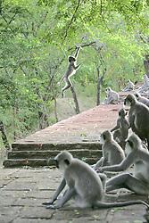 Hanuman Langurs Jumping