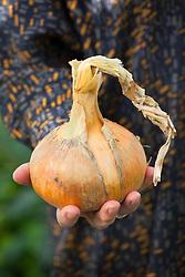 Hand holding the huge Onion 'Sturon'. Allium cepa