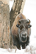 Images from the Winter Yellowstone Photo Tour