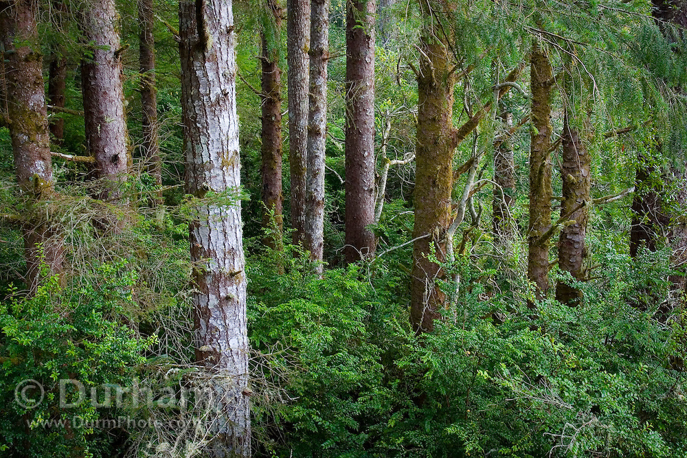 Forest in the South Slough Preserve, Oregon Coast.