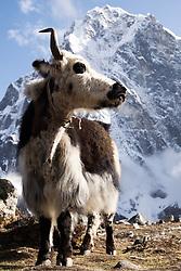"""THEMENBILD - Yak vor dem 6000er Cholatse (6.440 m). Wanderung im Sagarmatha National Park in Nepal, in dem sich auch sein Namensgeber, der Mount Everest, befinden. In Nepali heißt der Everest Sagarmatha, was übersetzt """"Stirn des Himmels"""" bedeutet. Die Wanderung führte von Lukla über Namche Bazar und Gokyo bis ins Everest Base Camp und zum Gipfel des 6189m hohen Island Peak. Aufgenommen am 16.05.2018 in Nepal // Trekkingtour in the Sagarmatha National Park. Nepal on 2018/05/16. EXPA Pictures © 2018, PhotoCredit: EXPA/ Michael Gruber"""