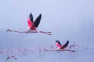 Greater flamingos in the sea mist, Carmargue, France