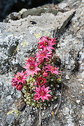 Mountain Houseleek, Sempervivum montanum, has pink star-staped flowers on red and green stalks, growing close to the ground often in rocky spots. Hike the dramatic Sentier des Chamois from Verbier, in Switzerland, the Alps, Europe. The Chamois Path starts at La Chaux ski lift and ends at Fionnay PostBus. Cross Col Termin (2648m/8688 ft) in Haut Val de Bagnes nature reserve and descend to Lake Louvie via 1800s stone barns to the north, then to Fionnay (640 m up, 1415 m down in 8.5 hours). Optionally stay overnight in dorms Cabane de Louvie.