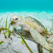 A green sea turtle (Chelonia mydas) munching on turtle grass (Thalassia testudinum), a type of seagrass, in The Bahamas