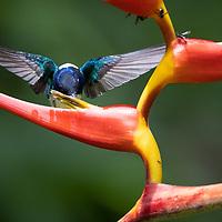 Florisuga mellivora<br /> Costa Rica, June 2021