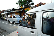 Local dog looking out of van window. Sanur, Bali, Indonesia.
