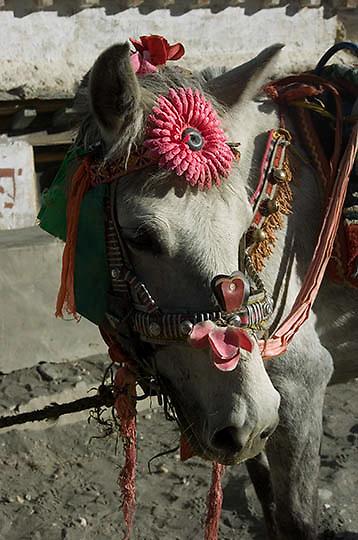 Decorated horses for Tibetan villagers. Tibet.
