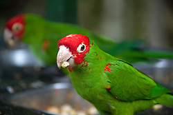 Parrot(Red-masked parakeet) feeding food, South Africa