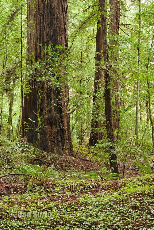 Redwood sorrel, Oxalis oregana, and coast redwoods, Sequoia sempervirens, in Big Hendy Grove, Hendy Woods State Park, California
