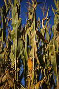 SHOT 9/4/20 5:15:36 PM - An ear of corn dries on the stalk in a field near Syracuse, Neb. The total production of corn in the US for the year 2019 is reported to be 13.016 billion bushels, of which the major use is for manufacture of ethanol and its co-product (Distillers' Dried Grains with Solubles). (Photo by Marc Piscotty / © 2020)