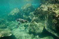 A Galapagos Penguin (Spheniscus mendiculus) swimming off the coast of Bartolomé Island.