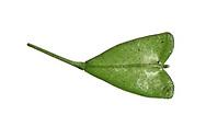 Shepherd's-purse - Capsella bursa-pastoris