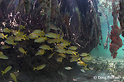 French grunts, Haemulon flavolineatum, a snapper, and other small fish shelter among roots of red mangrove trees,  Rhizophora mangle, on small mangrove caye inside southern Belize Barrier Reef, Belize, Central America ( Caribbean Sea )