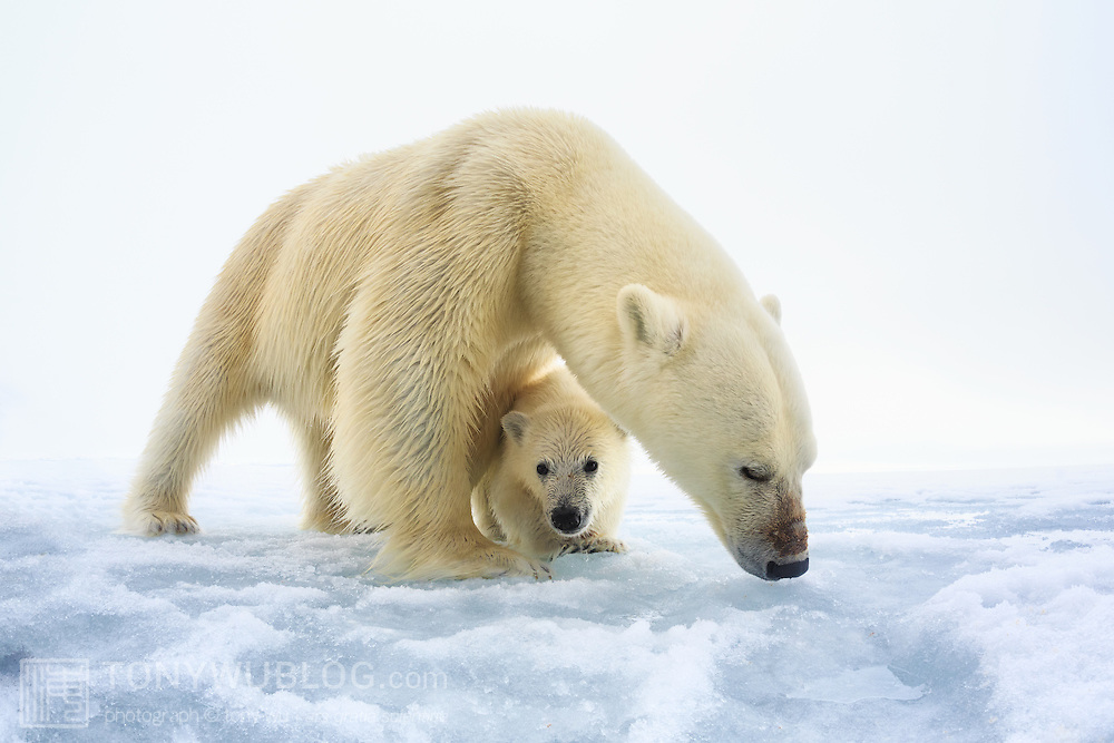 Female polar bear (Ursus maritimus) with a single young cub, only a few months old. Polar bears usually have two cubs. It is possible that this female lost a cub. Photographed in northern Svalbard.