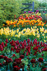 Tulips growing in the cutting garden at Perch Hill