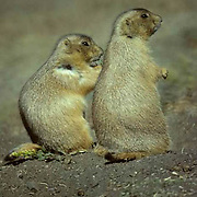 Prairie Dog, (Cynomys ludovicians) Pair outside of den on prairie.