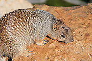 Oct. 7, 2008 -- GRAND CANYON NATIONAL PARK: An Albert squirrel drinks from a hole in a rock in the Grand Canyon National Park in northern Arizona. Albert squirrels live on the south rim and Kaibab squirrels live on the north rim. Photo by Jack Kurtz