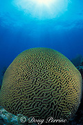 giant brain coral, Colpophyllia natans, Biscayne National Park, Florida ( Atlantic Ocean )
