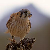 North America, Americas, USA, United States, Arizona. Arizona-Sonora Desert Museum. American Kestrel.