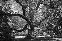 Huge old Oak tree.
