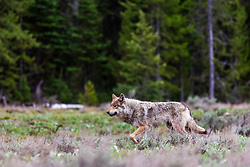"""Alpha female of the  Pacific Creek Wolf pack that roams, Grand Teton National Park<br /> <br /> Read Story: """"Hungry Wolves""""<br /> http://www.the-hole-picture.com/articles/Hungry-Wolves.html"""