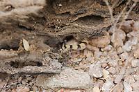 Tucson banded gecko, Coleonyx variegatus bogerti, crawling under a cholla branch. Saguaro National Park, Arizona