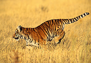 Bengal tiger cub (captive)