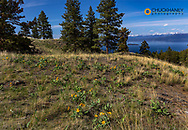 Arrowleaf balsomroot wildflowers in spring with Cedar Island in distance on Wild Horse Island State Park, Montana, USA