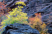 Soft light on fall color and sandstone cliff in Hidden Canyon, Zion National Park, Utah