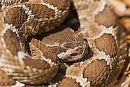 Northern Pacific Rattlesnake, Crotalus viridis oreganus