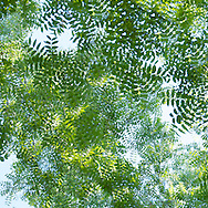 To focus on the patterns of these walnut tree leaves, I removed all the branches from the image. The image now gives me that slightly vertiginous feeling I had standing under them as they waved gently in the breeze.