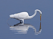Snowy Egret in the Water